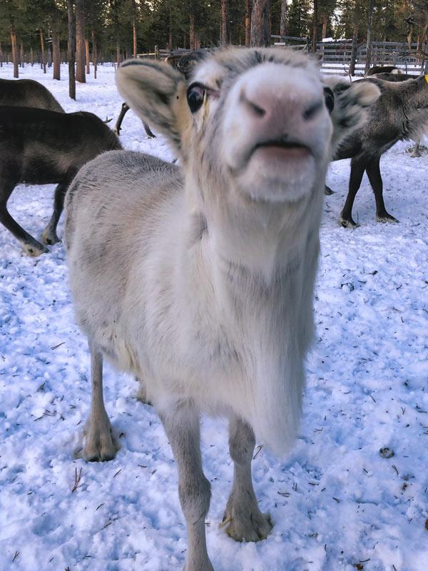 lapland_reindeerbaby